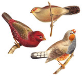 Bird collection - Red Munia (Amandava amandava), Black rumped Waxbill (Estrilda troglodytes), Zebra Finch (Taeniopygia guttata) / vintage illustration