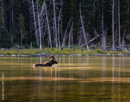 Shiras Moose in Lake - Colorado Poster