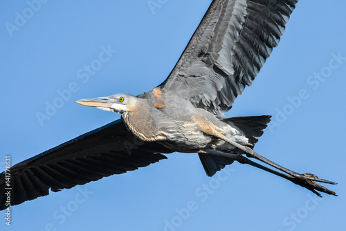 Poster Great Blue Heron in Flight