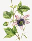 Illustration botanique / Passiflora x var. belotii/ Passiflore