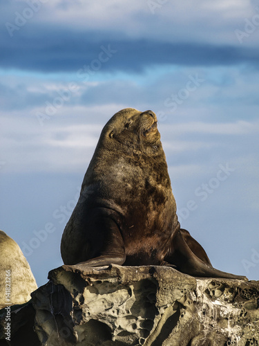 Big Ol' Snoozer Huge male Steller Sea Lion having a snooze in southern British Columbia Poster