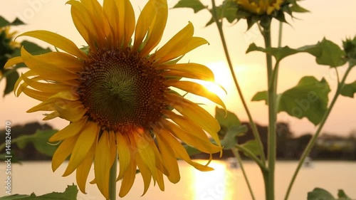 close-up of sunflowers on sunset background