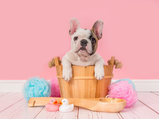 Cute french bulldog puppy in a wooden sauna bucket in a pink bathroom setting facing the camera