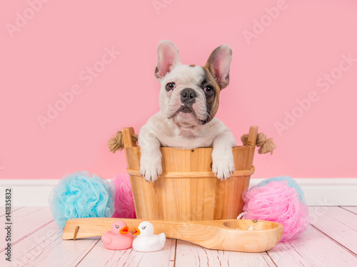 Deurstickers Franse bulldog Cute french bulldog puppy in a wooden sauna bucket in a pink bathroom setting facing the camera