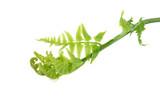 fresh vegetable fern or paco fern on white background