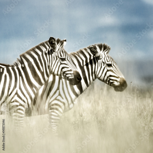 Fototapeta  Two zebras in the savannah, Serengeti, Africa