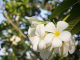 White Plumerai flower on tree in garden