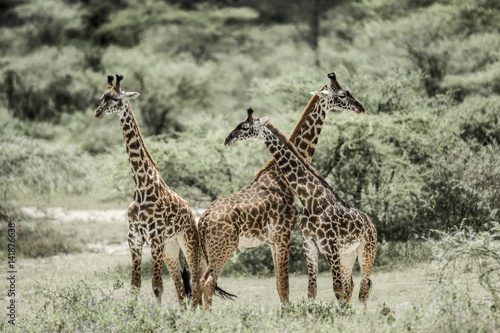 Poster Giraffes playing in Serengeti National Park