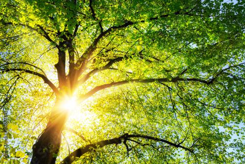 Fotobehang Geel Die Sonne leuchtet warm durch die grünen Blätter einer schönen Linde