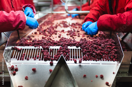 Factory for freezing and packing fruits. Unrecognizable worker's hands in protective blue gloves working on line for selection of frozen raspberries. Selective focus.