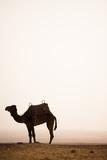 un chameau dans le désert
