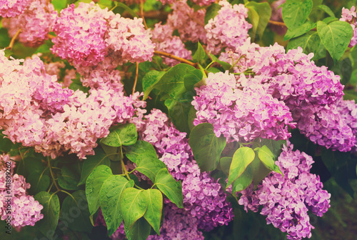 Lilac fresh blooming tree with violet flowers and green leaves, retro toned