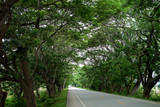 Rain tree tunnel road : Thailand