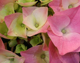 hydrangea flowers photographed with a macro lens