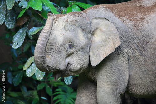 Fototapeta Borneo elephant (Elephas maximus borneensis) in Sabah, Borneo