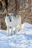 Canadian/Rocky Mountain gray wolf