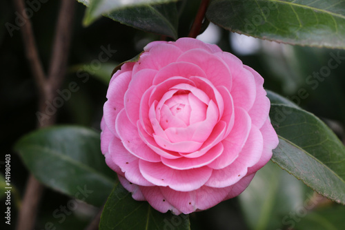 Tuinposter Candy roze 椿