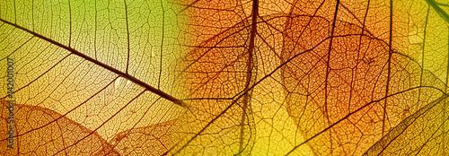 Fototapeta autumn leaf texture