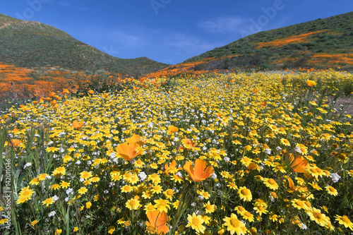 California Golden Poppy and Goldfields blooming in Walker Canyon, Lake Elsinore, Poster
