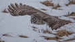 Grey Owl 3