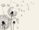 Abstract Dandelions dandelion with flying seeds - 142040486