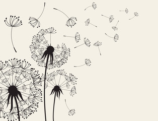Abstract Dandelions dandelion with flying seeds © rattikankeawpun