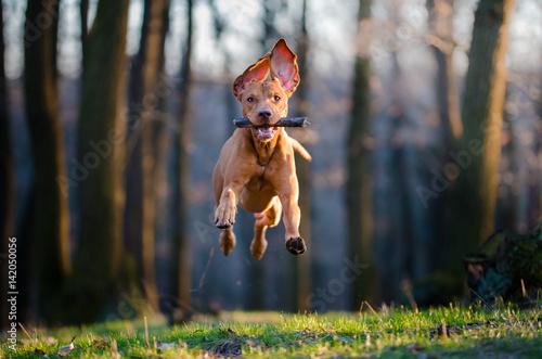 Hungarian pointer hound dog