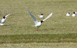 Mediterranean gulls (Ichthyaetus melanocephalus) in the field, Kalmykia, Russia
