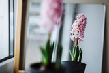 Fototapety Three beautiful pink hyacinth in a pot with a vintage pattern on the window
