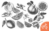 Ink hand drawn set of different kinds of citrus fruits. Food elements collection for design, Vector illustration. - 142071449