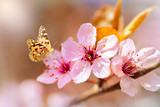 Beautiful cherry blossom and a butterfly, background