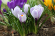Постер, плакат: Spring flowers Crocuses in the garden