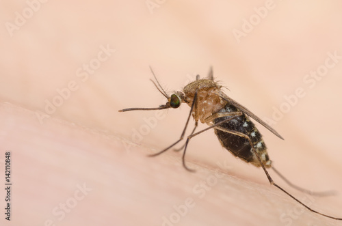 macro close up mosquito on human skin. - 142110848