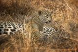 Leopard cub in South Africa - 142113816