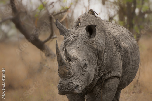 Aluminium Neushoorn Oxpeckers on white rhino in South Africa