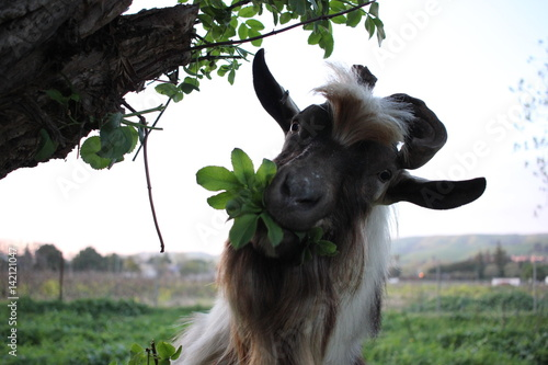 Billy goat eating leaves from a tree Poster