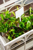 Fototapety Fresh salad in greenhouse