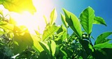 POV video under tea leaves with bright sun light flickering through foliage. Fresh crops grow on green hills under warm sunshine in rural India. Vivid blue sky on background - 142133219