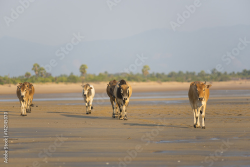 Foto op Canvas Zanzibar Beef cattle on the beach .