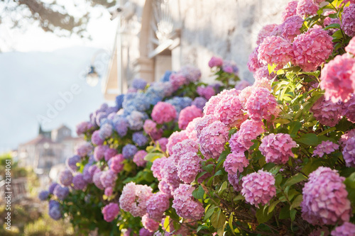 Fotobehang Hydrangea Pink, blue hydrangea flowers are blooming in spring and summer at sunset in town garden.