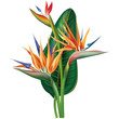 Strelitzia reginae flower on white