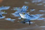 Moor frogs on the lake in the wild