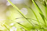 Fototapety Wet green grass in dew drops