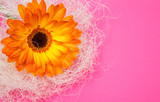 single flower orange gerbera bright paper bright pink background