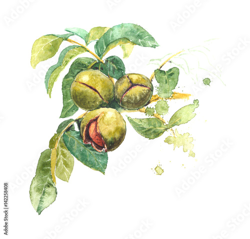 Realistic watercolor illustration of walnut tree, Juglans regia, with fruits, leaves. Walnut shell inside its green husk nuts.