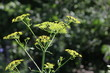 Yellow head Wild Parsnip (Pastinaca sativa) weed in poisonous stage growing in a conservation area in S.E.Ontario.