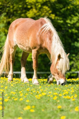 Poster Pferd beim Grasen auf der Weide