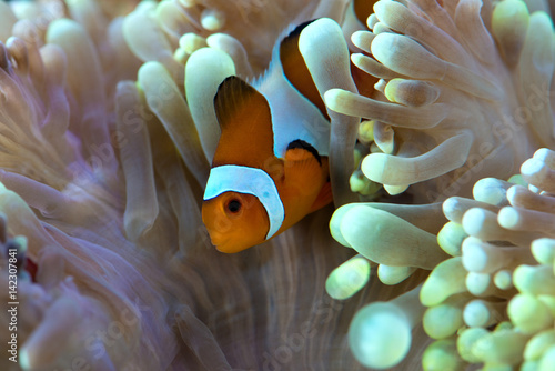 Póster clown fish hosting on anemone