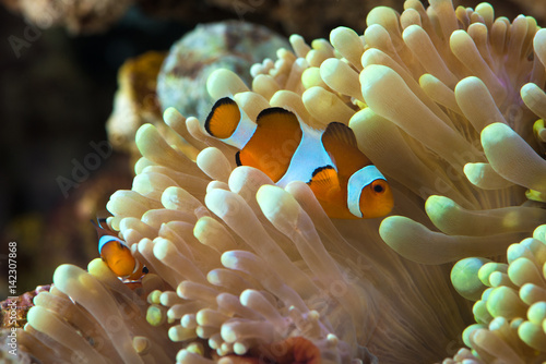Poster clown fish hosting on anemone