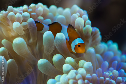 clown fish hosting on anemone © wong yu liang